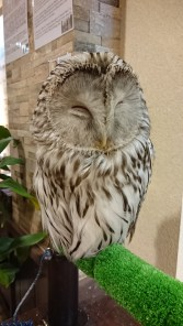 Urara-chan the (sleepy) Barred (?) Owl!