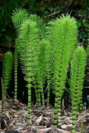 Equisetum telmateia (Equisetopsida) at Cambrid...
