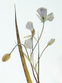 Sexton Mountain mariposa lily