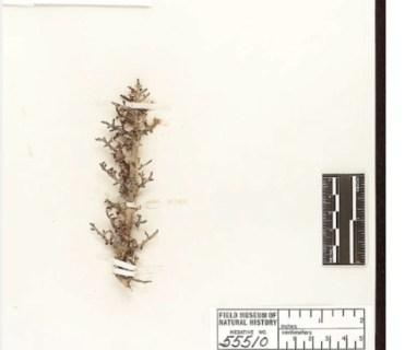 Erythroxylum echinodendron