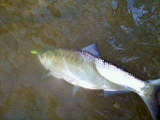 Sarges Bait and Tackle Chesapeake Bay Fishing Report - Shad