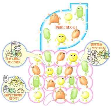 乳酸菌の種類や動物性乳酸菌と植物性乳酸菌の違い