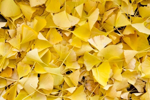 イチョウの葉の効果・効能!認知症予防や血流改善効果も