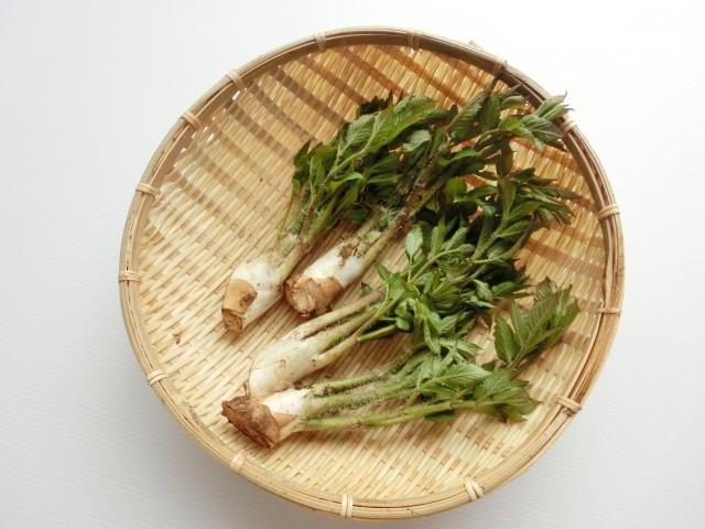 ウドの栄養と効能・効果やおすすめのレシピ!賞味期限は?