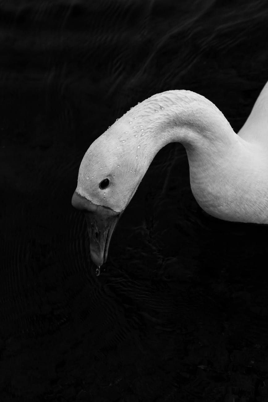 close up grayscale photo of swan