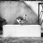 Ducks_003