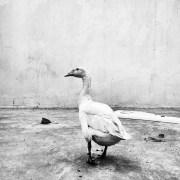 Ducks_013