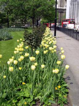 Tulips lining pathway to the Cathedral