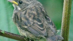 小鳥の幼鳥8月