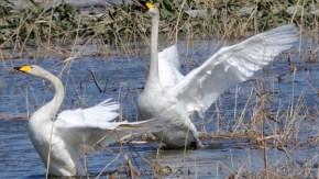 冠水した牧草地の水鳥