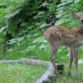 稚内森林公園でエゾシカ