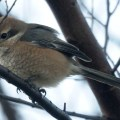 埼玉の鳥類