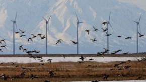 風車によりサロベツの野生生物と景観が失われようとしています