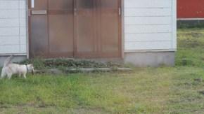 家の前にオオジシギ