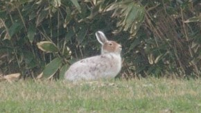 天塩町にウサギ
