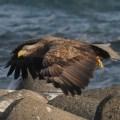 ノシャップ岬にオジロワシ