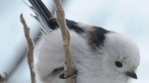 芽を食べるエナガ