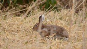 ウサギは恋の季節
