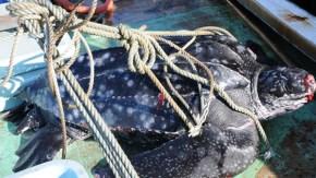 定置網にオサガメ