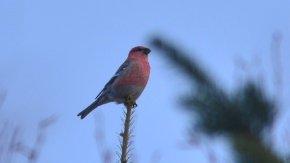 冬の赤い鳥(ギンザンマシコ)