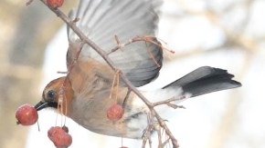 小さいリンゴに集まる鳥たち