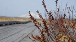 地味ですが・・咲いています。ヤチヤナギ(木道の様子200420)