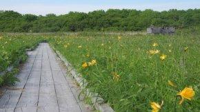 サロベツ湿原 最新開花情報 200622