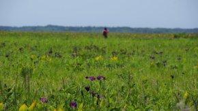 サロベツ湿原 最新開花情報 200706
