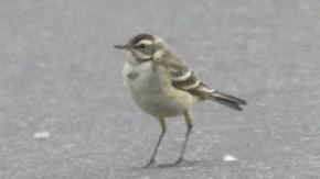 ツメナガセキレイ幼鳥