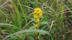 麒麟がきました ~サロベツ湿原 最新開花情報 200901