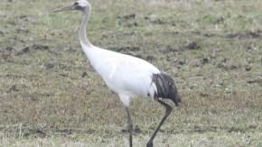 タンチョウ若鳥2021春