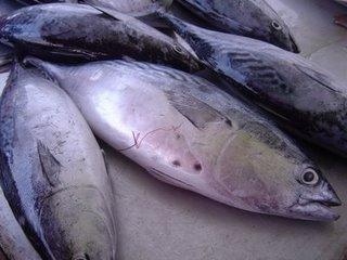 IkanTongkol