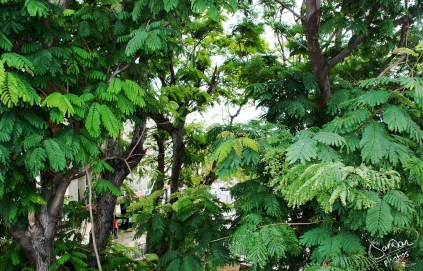 Royal College Port Louis Lush Greenery Photography