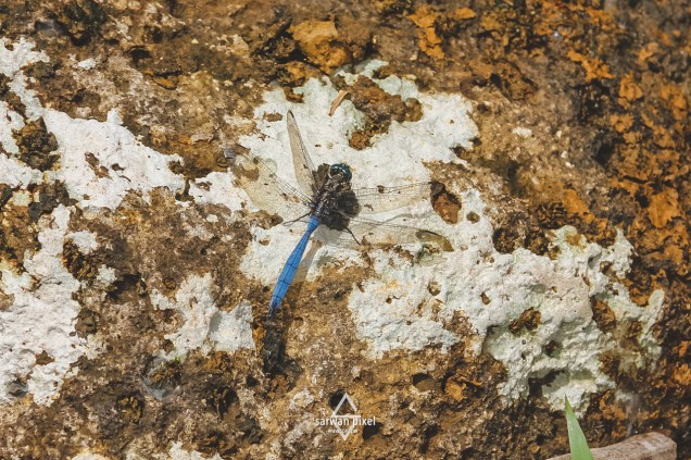 Dragonfly in Mauritius