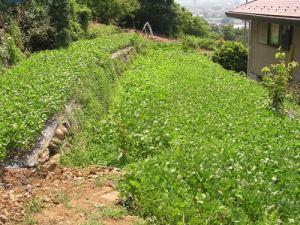 マルチシートによる大豆の種植え
