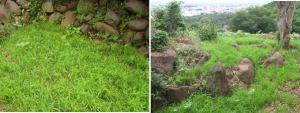 不耕起で、陸稲が雑草のように育ってきた2016.7.16