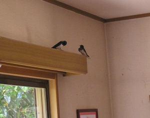 燕のカップルが部屋に入ってきた