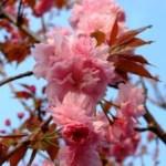 八重桜とサクランボ(佐藤錦)