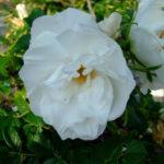 ハマナス~白花もあるんですね。
