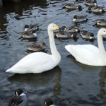大池の白鳥~旧神林村
