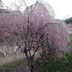 枝垂れ桜~興屋集落(旧山北町)