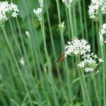 ニラ(韮)の花とノブドウ(野葡萄)~笹川流れ