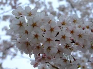 旧桑川小学校の桜が満開