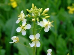 白い菜の花?