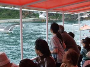 遊覧船上から観るウミネコ