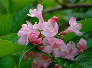 ジクナシの花~笹川流れの山にて