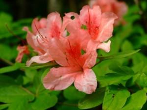山ツツジの花