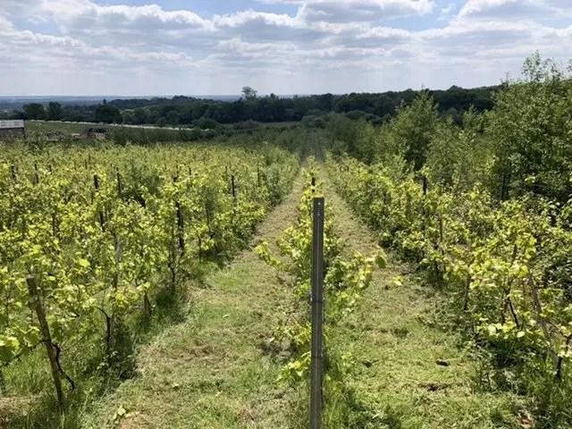 Finished vineyard
