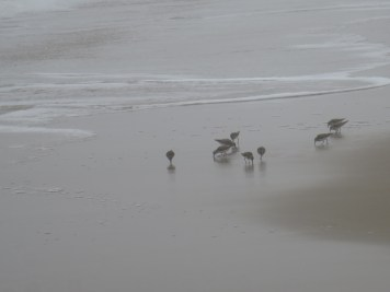 sandpippers (2)