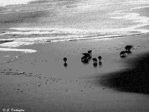 1sandpipers